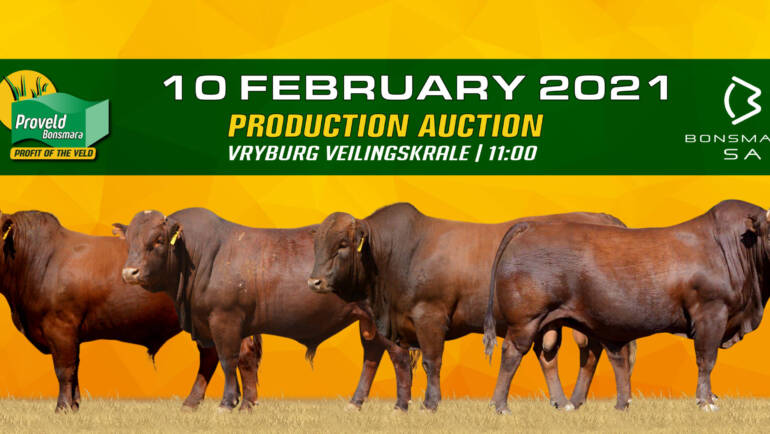 Proveld Bonsmara Auction